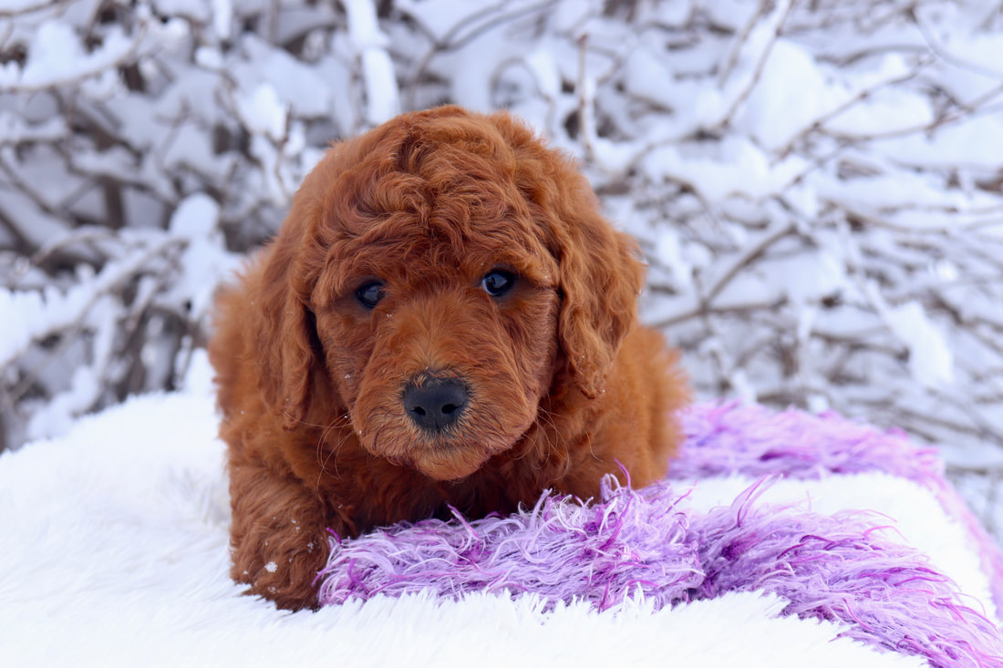 Picture of goldendoodle puppies